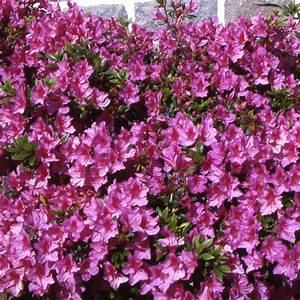 Plantes Et Jardin : azal e japonaise 39 beethoven 39 plantes et jardins ~ Melissatoandfro.com Idées de Décoration