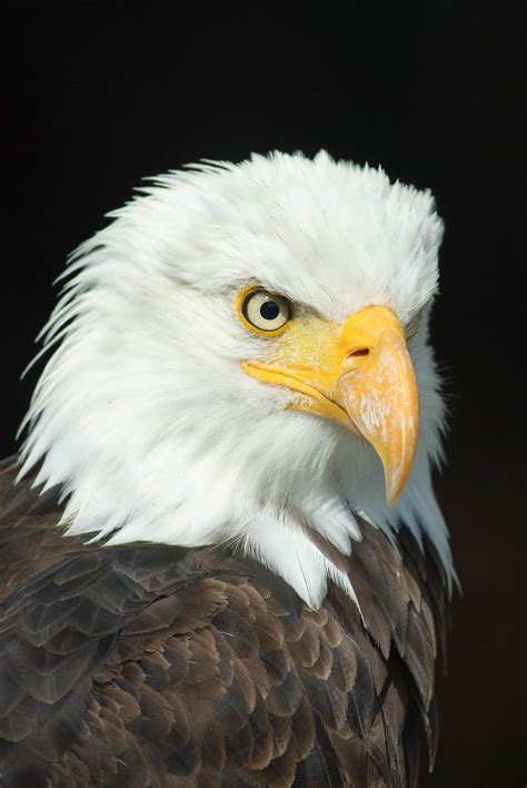 Bald Eagle Images Bald Eagle 183 Free Stock Photo