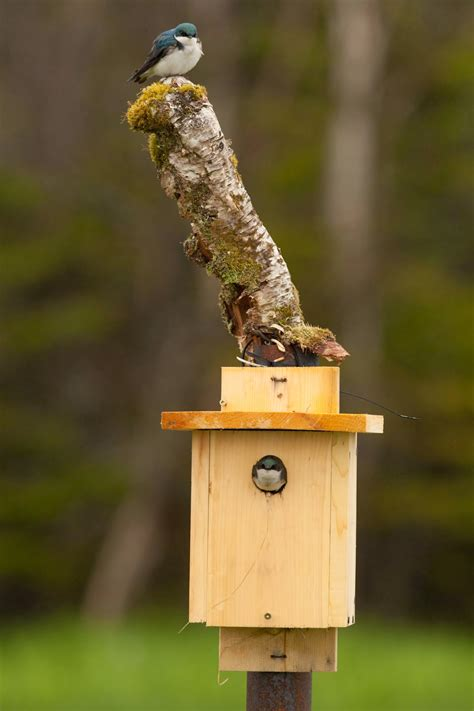 newfoundland nature projects    tree swallow nest box project