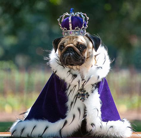 family album  pampered pugs  pictures life  style  guardian