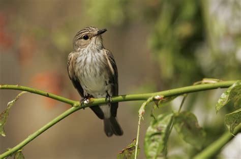 flycatchers bird family overview  rspb