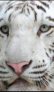 White Tiger Close Up | Explore zenseas' photos on Flickr ...