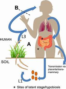 Hookworm Life Cycle In Humans