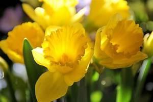 March Birth Flower | The Old Farmer's Almanac