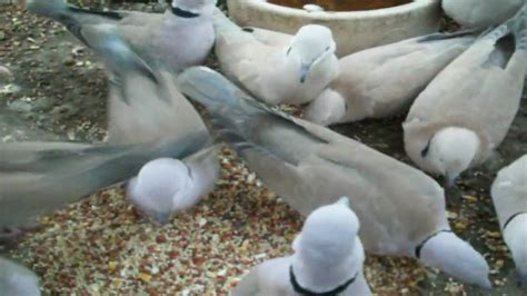 what seeds do doves eat and like the best youtube
