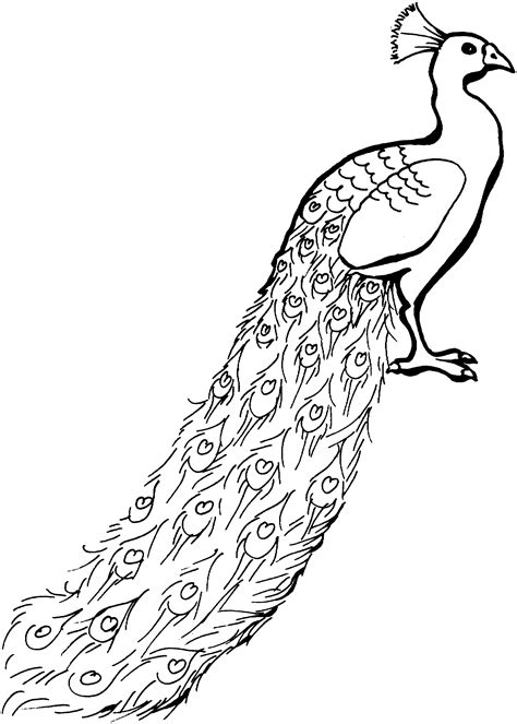 Free Peacock Coloring Pages