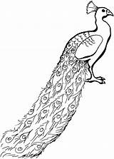 Peacock Coloring Pages Animals Glorious Wildlife sketch template