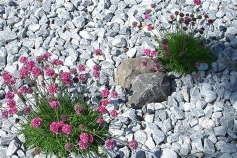 pflanzen für kiesbeet kiesbeet pflanzen