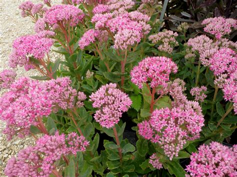 sedum with pink flowers suddenly sedums knecht s nurseries landscaping