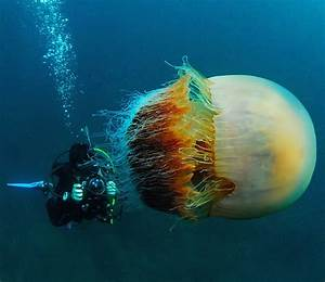 This is Not an Alien Species, Just a Monstrous Jellyfish ...