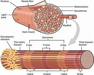 The Hierarchical Structure Of Muscle  An Active