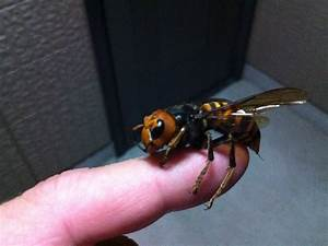 Zen And The Art Of Beekeeping  Asian Giant Hornets   In America