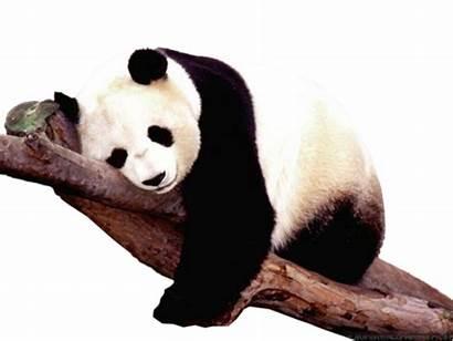 Panda Animaux Tubes Pandas Magnolias Animals Kaz