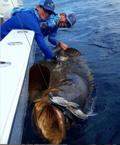 goliath grouper reel