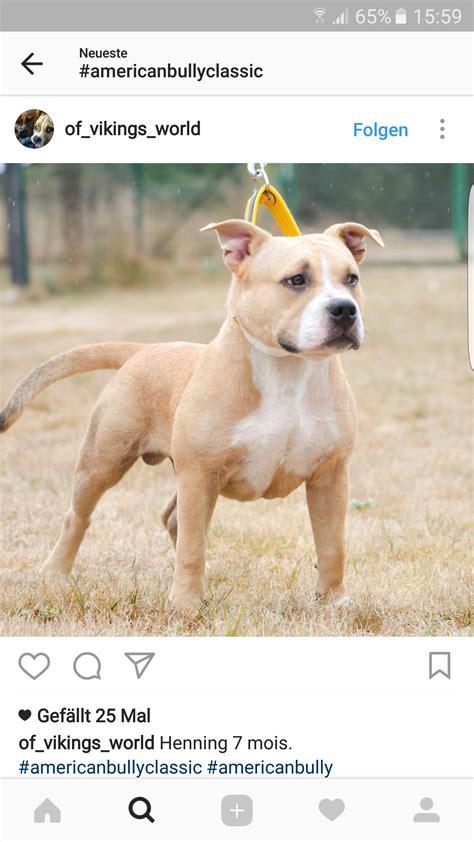 american bully haltung bayern hund listenhunde kampfhund