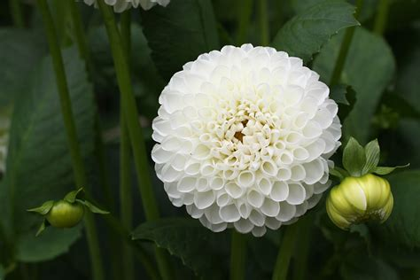 grow dahlias  garden glove