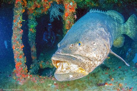 goliath groupers season disappearing
