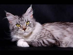 wallpapers: Domestic Cat Maine Coon Silver  Domestic
