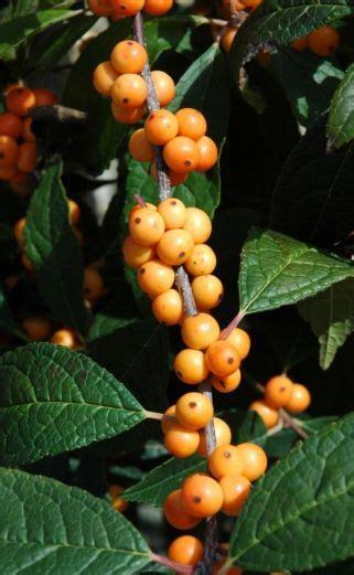 what deciduous tree has berries in winter winter gold deciduous ilex verticillata winter gold this deciduous shrub has some