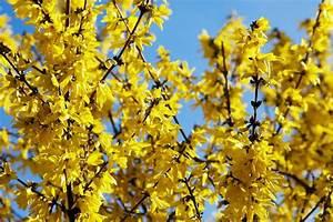 Wann Johannisbeeren Pflanzen : forsythie wann pflanzen forsythie pflanzen schneiden vermehren die besten tipps forsythie ~ Orissabook.com Haus und Dekorationen