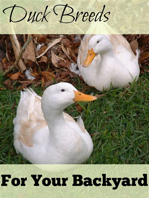 great backyard duck breeds  cape coop