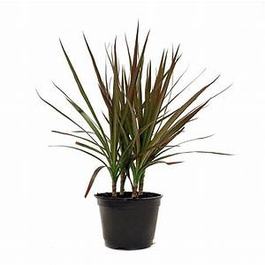 Delray Plants Dracaena Marginata in 6 in Pot-6MARG - The