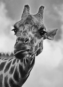 Schwarz Weiß Bilder Tiere : die giraffe zunge tiere view fotocommunity ~ Markanthonyermac.com Haus und Dekorationen