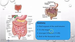 Small Intestine Is Divided Into 3 Parts With Regional