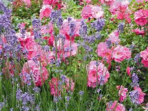 Rosen Und Lavendel : bild bild 1 rosen und lavendel seite familienheim und garten ~ Yasmunasinghe.com Haus und Dekorationen
