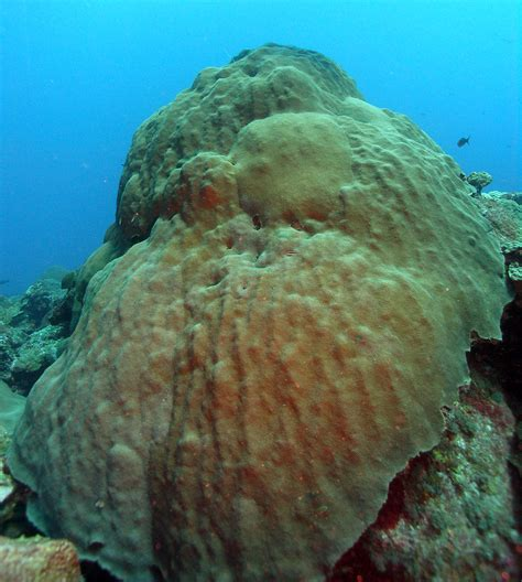 coral star algae symbiotic mountainous montastraea threatened species garden flower banks swap cnidarians mag corals noaa flowergarden gov cnidarian