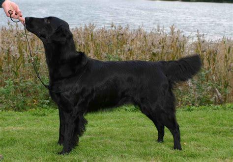 flat coated retriever breed guide learn   flat