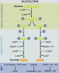 Atp Is Invested In Glycolysis To Quizlet