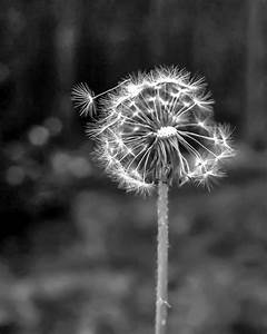 Dandelion art, Black and white photography and White ...