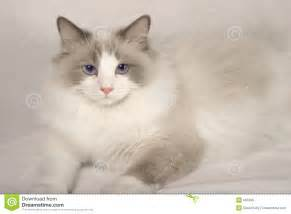 doll cat rag doll cat royalty free stock image image 687496