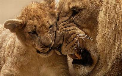 Lion Cub Mother Wallpapers Screen Resolution