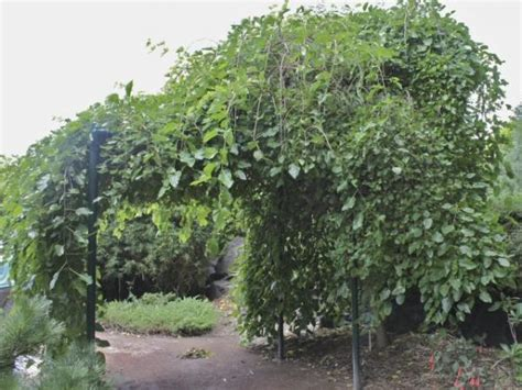 weeping mulberry tree care weeping mulberry morus alba pendula