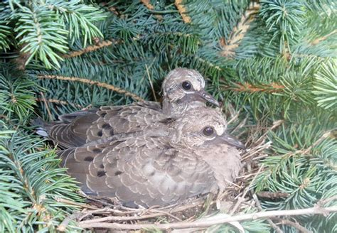 mourning dove baby birds at 5 weeks flickr photo sharing