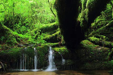 enjoy trekking   mystic forest  yakushima island