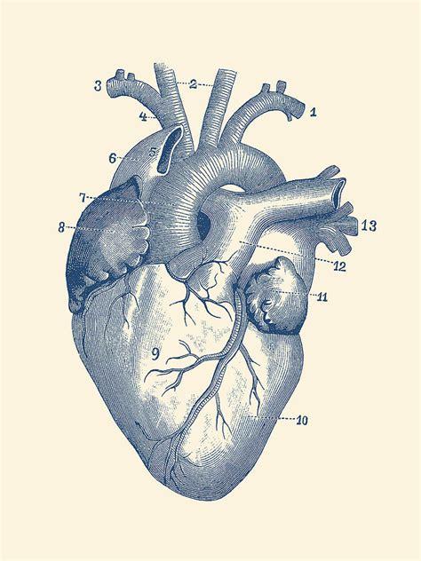 human heart diagram vintage anatomy drawing  vintage