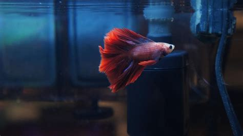 how do bettas live can betta fish live with other fish reference com
