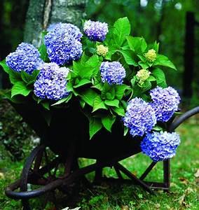 Hortensie Umpflanzen Im Topf : pflanzen und umpflanzen ~ Orissabook.com Haus und Dekorationen