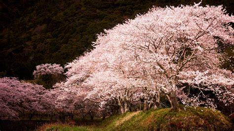 sakura spotlight bing wallpaper
