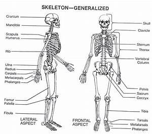 Skeletal System  U2013 Anatomy  U0026 Physiology Final Project