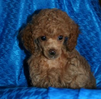 poodle puppies  sale red poodle puppy