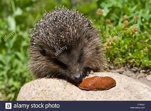 Fressen Igel Mäuse : westlichen igel europ ische igel mit slug europ ischer igel frisst nacktschnecke garten ~ Orissabook.com Haus und Dekorationen
