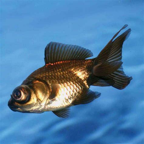 Black Moor Goldfish - Small   ThatPetPlace.com