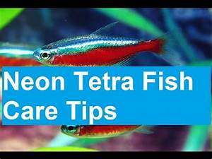 Neon Tetra Fish Care Tips Amazin Walter