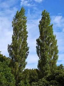 Trees Planet  Populus Nigra
