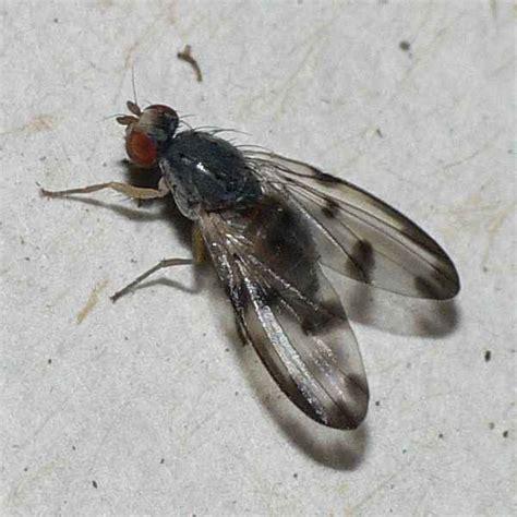 Fliegen Mücken Zum Licht by Noch Einige Kleine Fliegen Vom 24 06 10 Am Licht Diptera