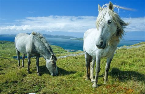 eriskay ponies environment natural uist south pony hebrides december under posted comments